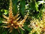 mangoblossom