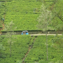 Labookellie tea plantation