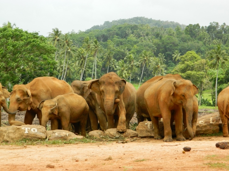 Pinnawela Elephants