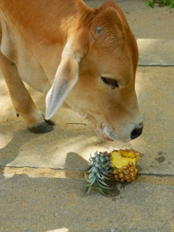 Sacred cow eating pineapple