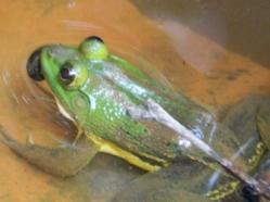Skipper Frog