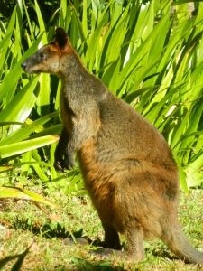 Wallaby Visitor
