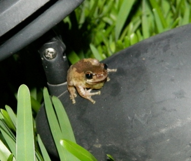 Bleating Tree Frog (1280x1080)
