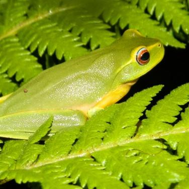 Dainty Tree Frog (1280x960)