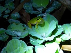 Sedge Frog (1280x960)