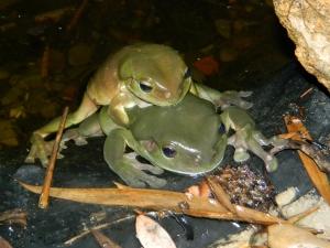 Green Tree Frogs (1280x960)