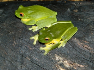 Red Eyed Green Tree Frog (800x600)