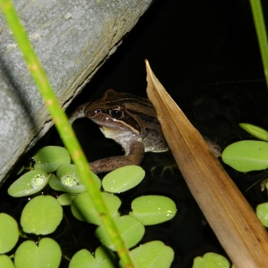 Striped Marsh Frog (800x600)