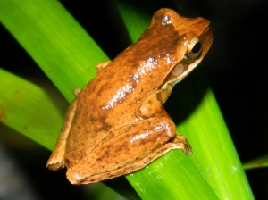 Whirring Tree Frog (1024x768)