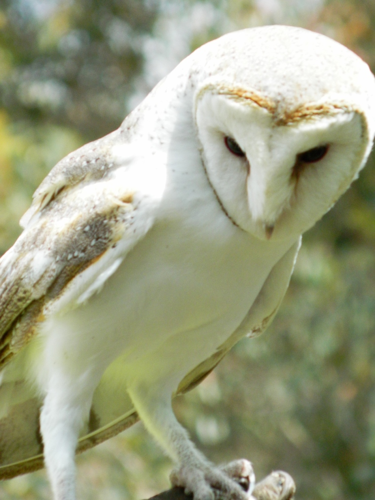 Casper the Barn Owl