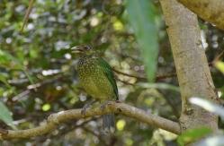 Green Catbird