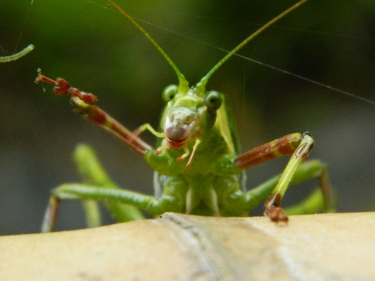 The waving katydid