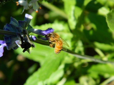 Ordinary bee