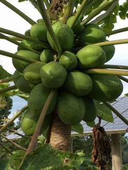 Bountiful Papaya