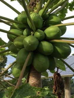 Bountiful Papaya