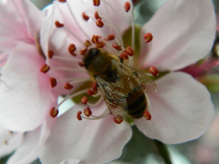 European bee on apricot blossom