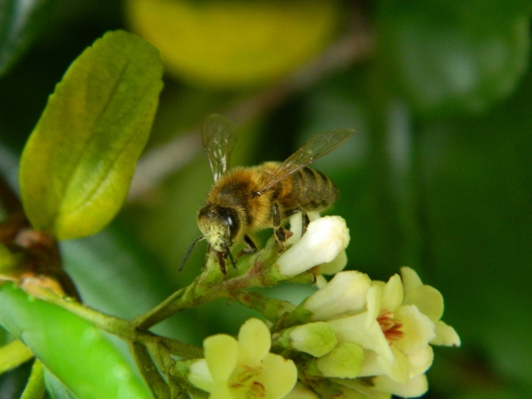 European bee on Viburnum