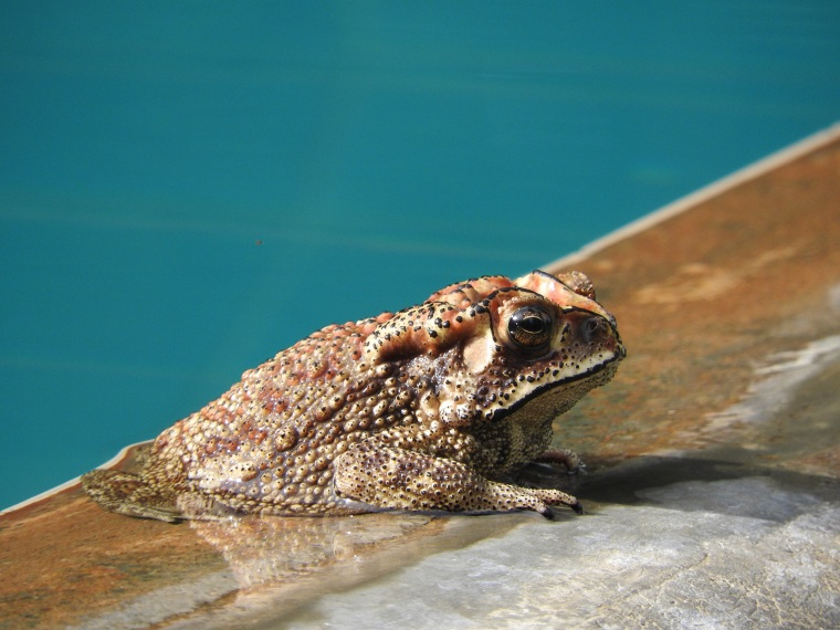 Frog (or is it a toad) swimming in the pool