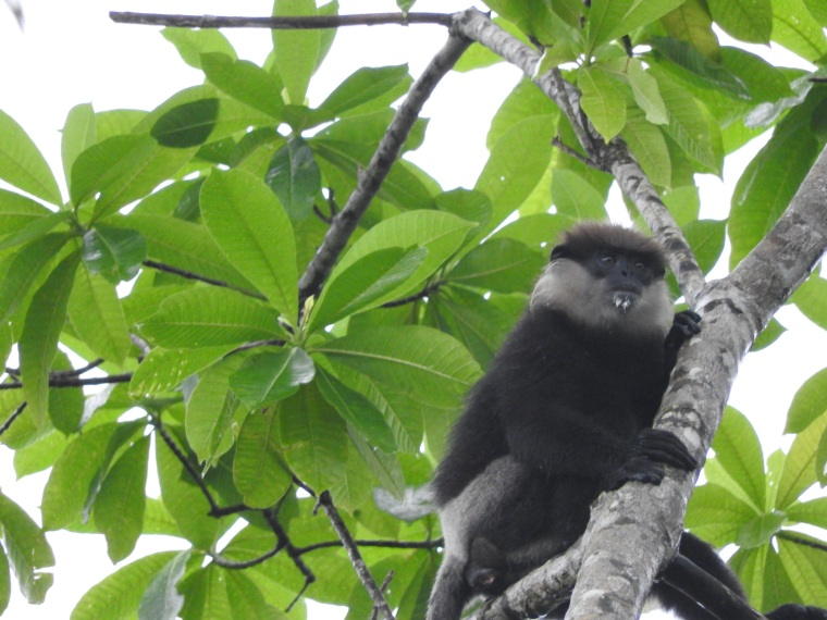 Purple Leaf monkey
