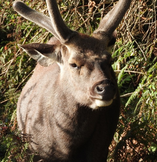 Sambhur deer buck