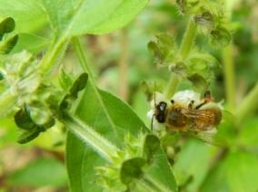 European Bee 2