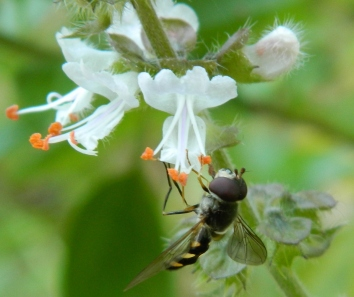 Hover Fly on basil