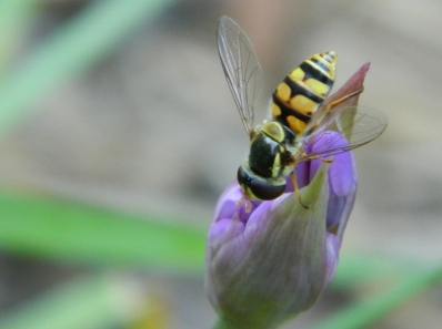Hover Fly on garlic