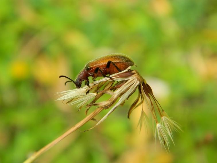 Brown Bug