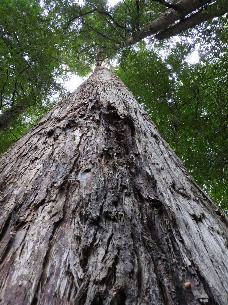 Towering Stringybark