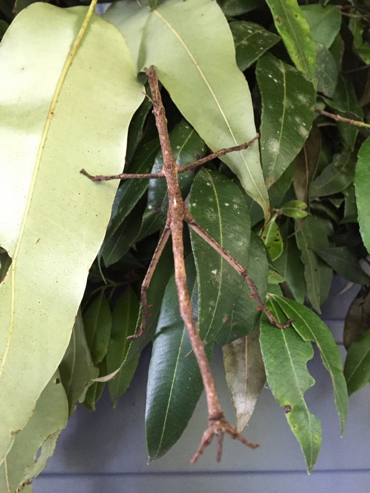 Stick insect - coming or going