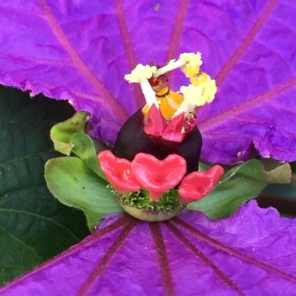 Costa Rican Butterfly vine flowers