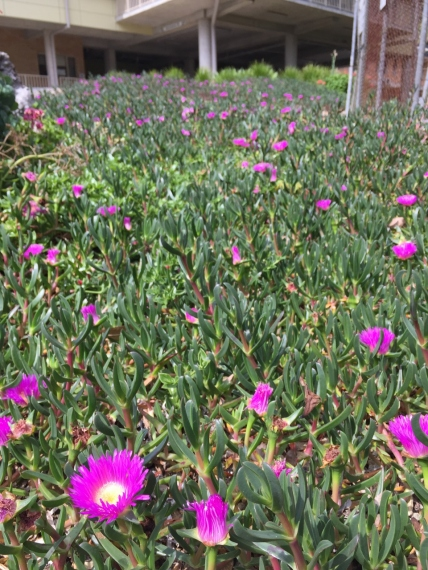 Field of Pigface at the hospital