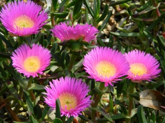 Lovely Pigface flowers