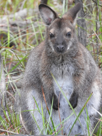 Black Footed wallaby - somewhat portly!