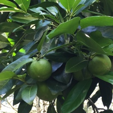 My first crop of Black Sapote