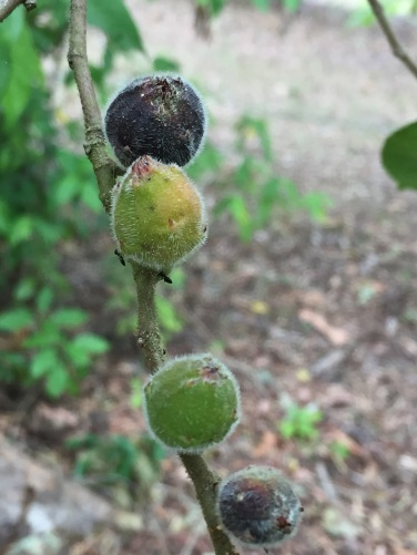 Female Sandpaper figs?
