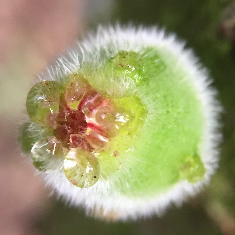 Male Sandpaper fig?