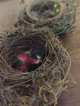 Nest with Rose robin feathers
